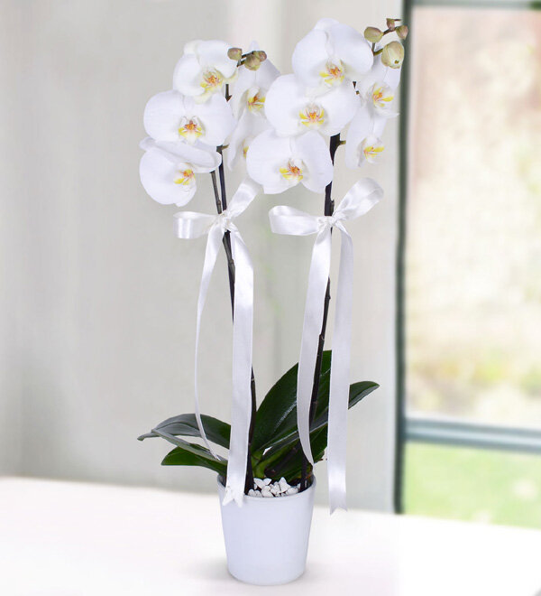 The Beauty of White Orchid